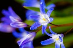 цветет пурпуровая весна Стоковая Фотография