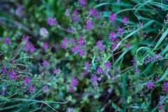 цветет пурпуровое малюсенькое Стоковое фото RF