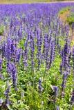 цветет пурпур лаванды Стоковое Изображение
