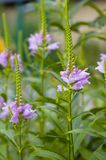 цветет пурпур Стоковое Изображение RF