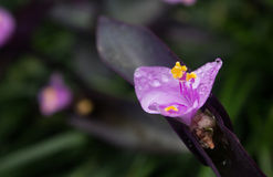 цветет пурпур Стоковые Изображения RF