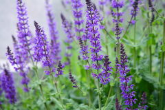 цветет пурпур стоковые фотографии rf
