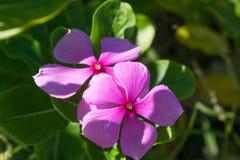 цветет пурпур 2 Стоковое Изображение RF