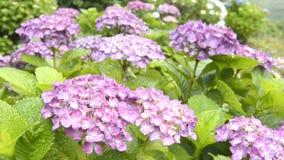 цветет пурпур hydrangea сток-видео