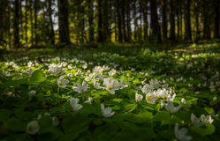 цветет пуща Стоковые Изображения