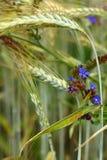 цветет пшеница колосков одичалая Стоковое Изображение