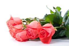 цветет розы Стоковые Фотографии RF