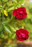 цветет розы Стоковые Фото