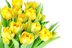 цветет свежий желтый цвет тюльпана Стоковые Фото