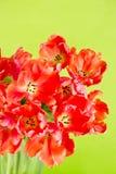 цветет свежий красный тюльпан Стоковые Фото