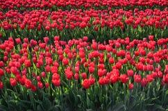 Цветет середина тюльпанов полей тюльпана стоковое фото rf