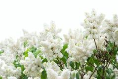 цветет сирень Стоковые Изображения