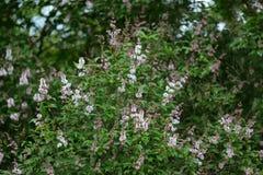 цветет сирень стоковое изображение rf