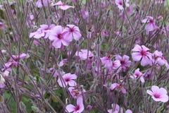 цветет сирень Стоковые Изображения RF