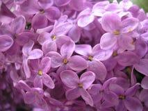 цветет сирень just rained Красивейшая предпосылка Стоковые Фото