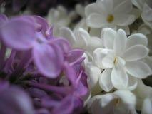 цветет сирень just rained Красивейшая предпосылка Стоковая Фотография RF