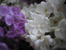цветет сирень just rained Красивейшая предпосылка Стоковая Фотография