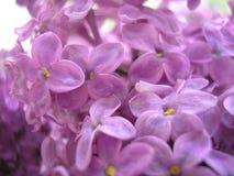 цветет сирень just rained Красивейшая предпосылка Стоковое Изображение RF