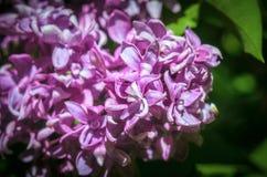 цветет сирень syringa сирени листьев зеленого цвета цветка крупного плана vulgaris Стоковые Изображения