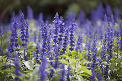 цветет славный пурпур стоковая фотография