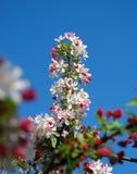 цветет слива Стоковая Фотография RF