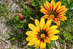 цветет солнечный желтый цвет стоковая фотография rf