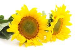 цветет солнцецветы стоковые фотографии rf