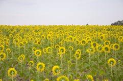 цветет солнцецвет Стоковое Фото