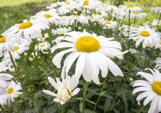 Цветет стоцвет большой Стоковые Изображения