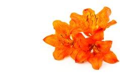 цветет тигр лилии Стоковое Изображение