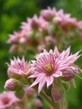 цветет тип пинка макроса Стоковое фото RF