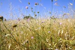 цветет трава золота большая Стоковое Изображение RF