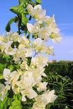 цветет тропическая белизна Стоковая Фотография RF