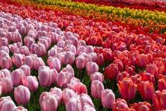 Цветет тюльпаны в парке Keukenhof, Lisse Стоковые Фотографии RF