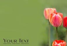 цветет тюльпан Стоковое фото RF