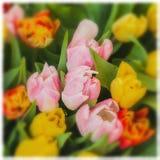 цветет тюльпаны Покрашенные букеты тюльпанов Взгляд сверху Поздравительная открытка для всех случаев, особенно весна селективно Стоковое фото RF