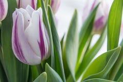 цветет тюльпаны Стоковая Фотография