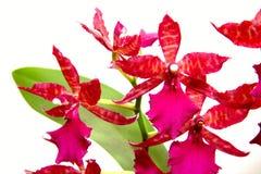 цветет фиолет орхидеи Стоковая Фотография