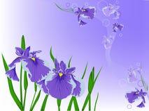 цветет фиолет Иллюстрация штока