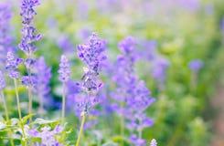 цветет фиолет лаванды стоковое изображение