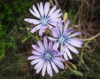 цветет фиолет Стоковые Фотографии RF