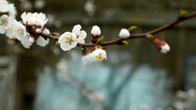 Цветет цветение на ветви фруктового дерев дерева груши Стоковое Изображение