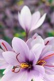 цветет шафран стоковое изображение