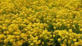 Цветет barbarea vulgaris видеоматериал