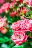 Цветет briar Стоковые Фотографии RF