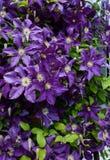 Цветет clematis Стоковые Изображения