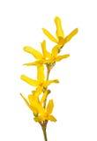 цветет forsythia Стоковое Изображение RF