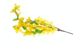 цветет forsythia Стоковая Фотография