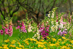 цветет foxglove Стоковое Изображение