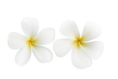 цветет frangipani Стоковая Фотография